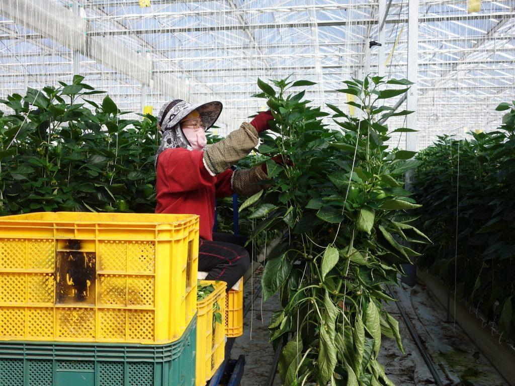 韓国の施設園芸での外国人労働者の今